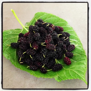 The last mulberries of the season.   These will be frozen for a couple weeks, until we get the time to make them into delicious thick jam.